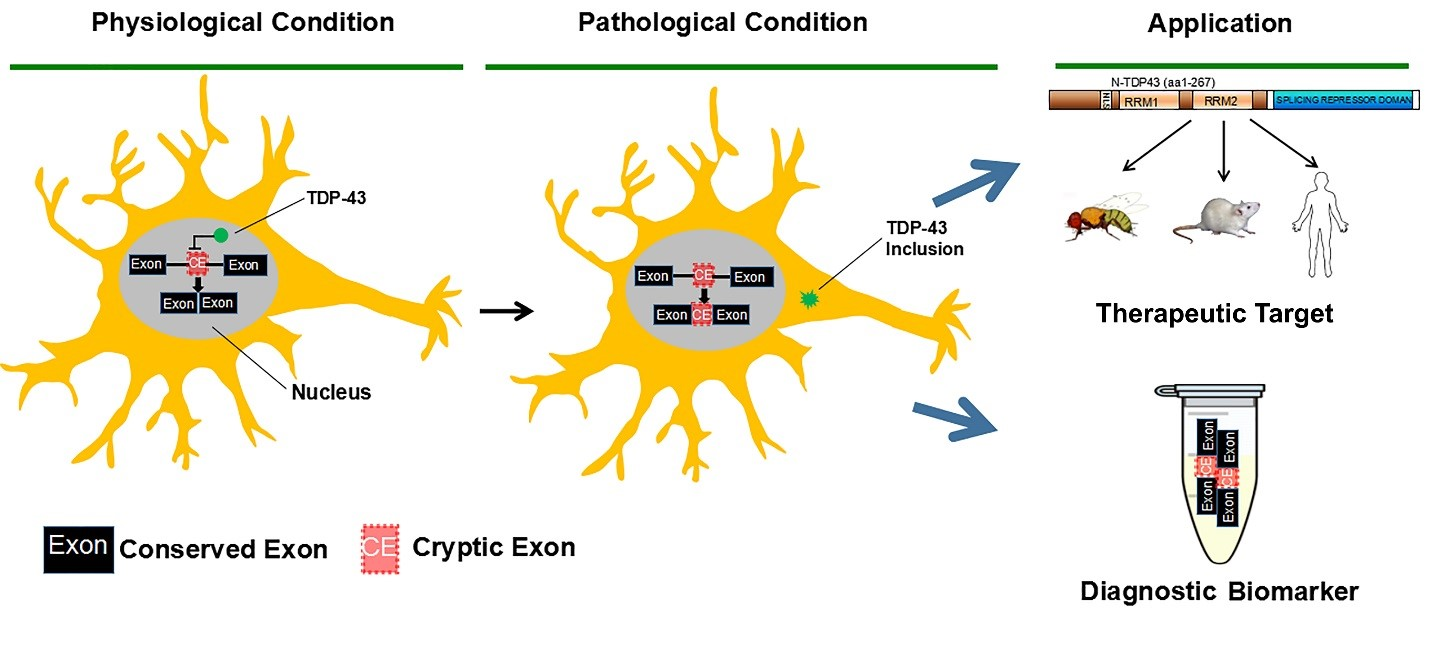 Neuropathology » Blog Archive » A New Therapeutic target and